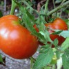 apts colorado: tomatoes